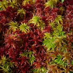 Sphagnum capillifolium in the Welsh uplands