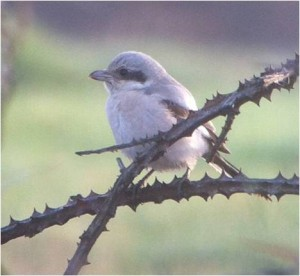 Steppe Grey Shrike – Not shy.