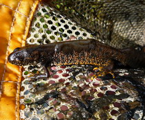 Great Crested Newt, caught by Kelly.