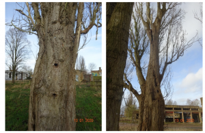 Tree with bat roost potential survey